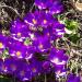 Iris reticulata Denver Botanic Gardens